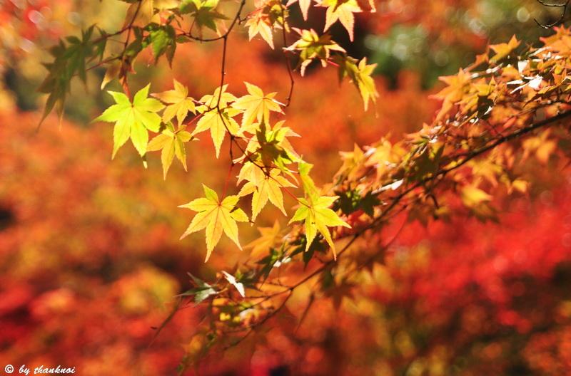 ใบไม้เปลี่ยนสี เกียวโต