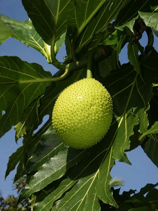 1024px-Artocarpus_altilis_(fruit)