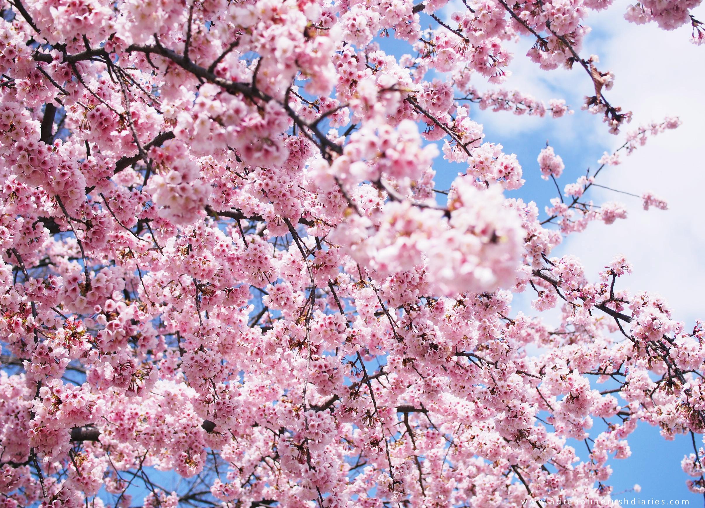 Japan Sakura hunting trip