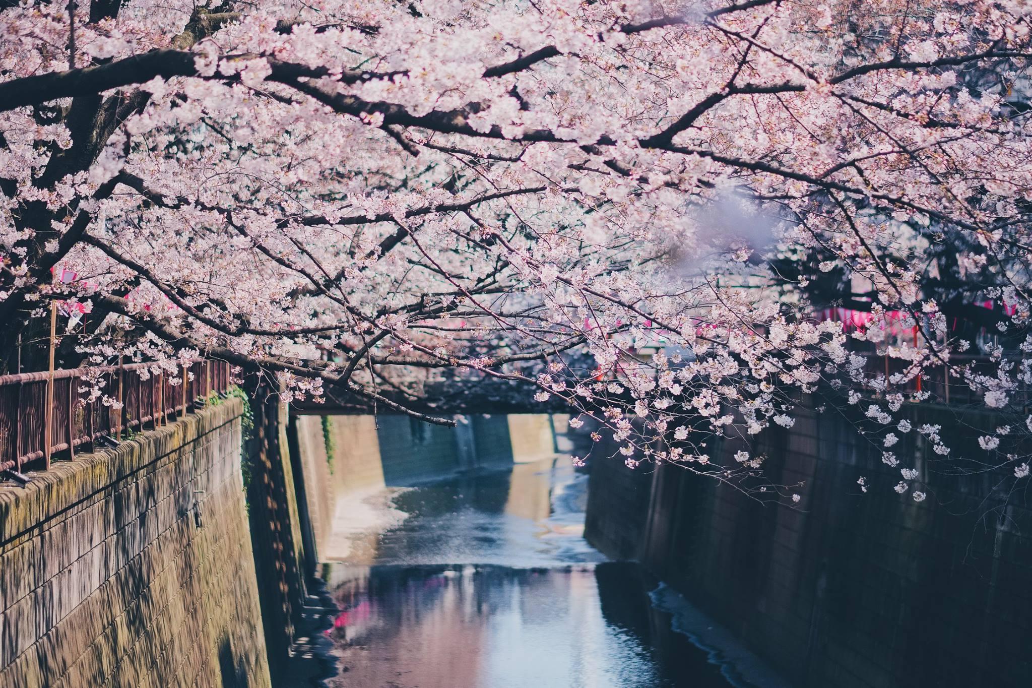 Japan Sakura Hunting - ตามล่าหาซากุระ 3
